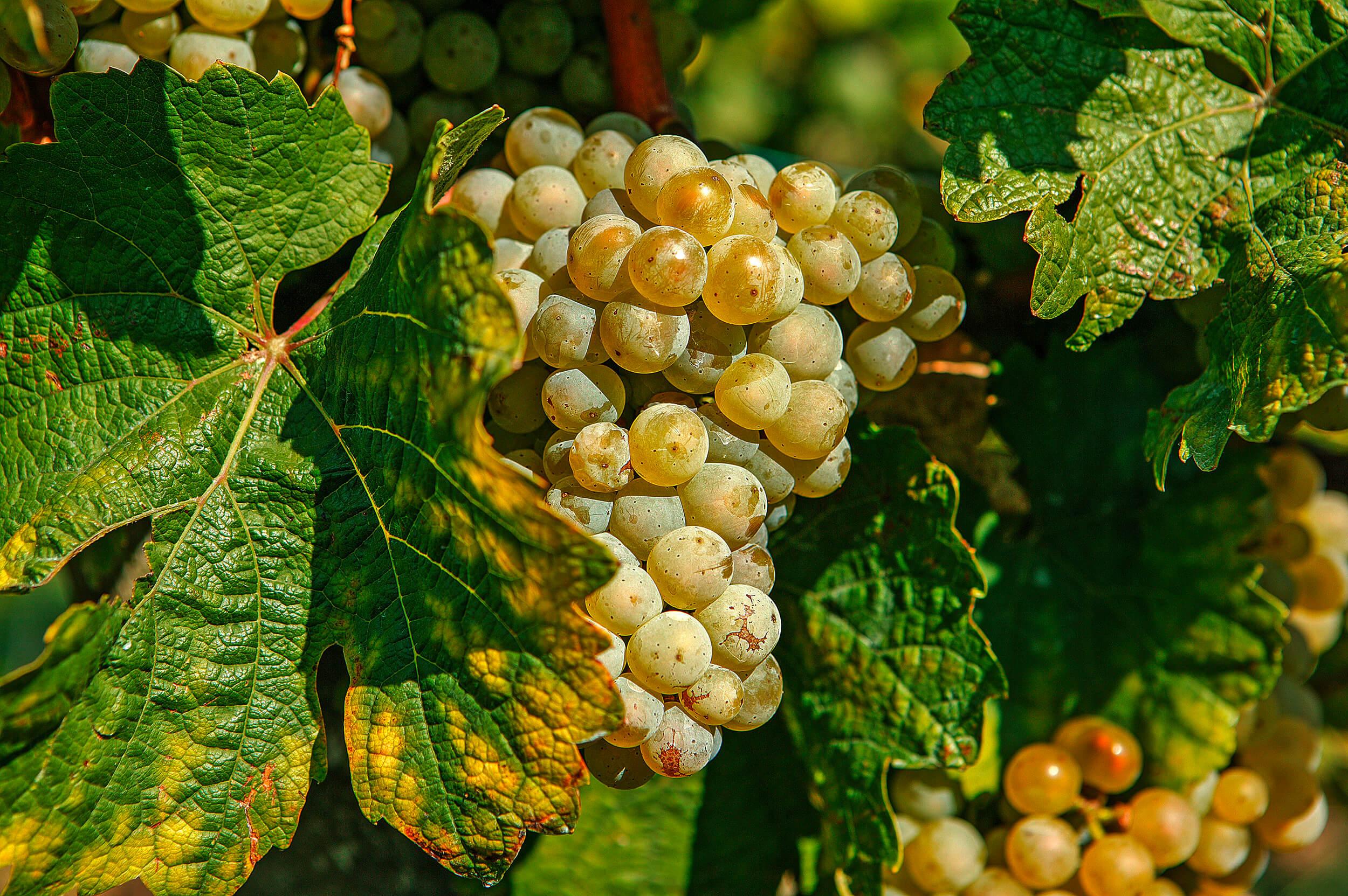 """Online Weinprobe """"Unsere Klingelberger-Spitzen"""" über Videokonferenz"""